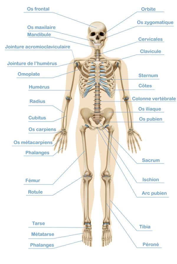 noms-des-os-du-corps-humain