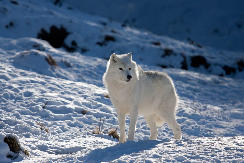 Le Loup Un Animal Qui A Du Chien