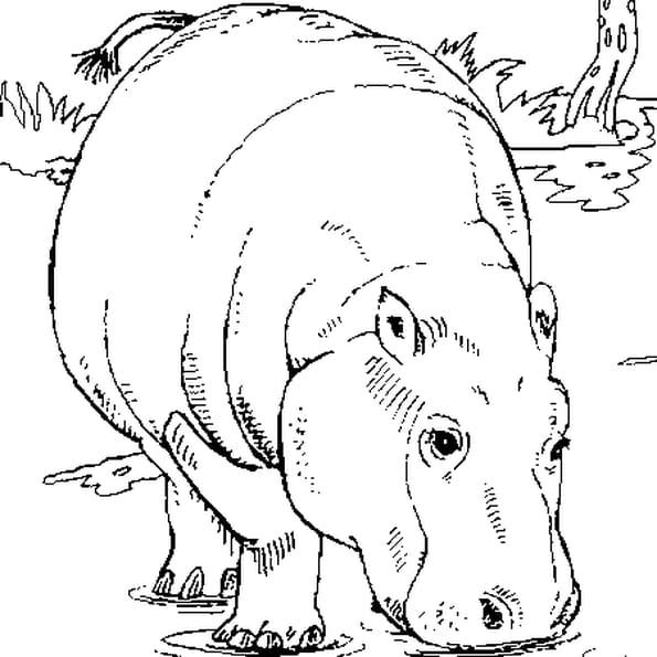 Dessin hippopotame a colorier