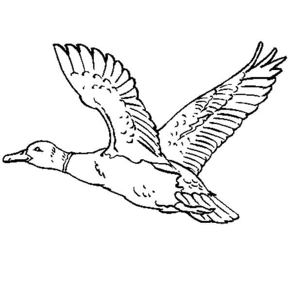 Coloriage Canard Colvert en Ligne Gratuit à imprimer