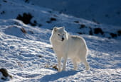 Le loup, un animal qui a du chien