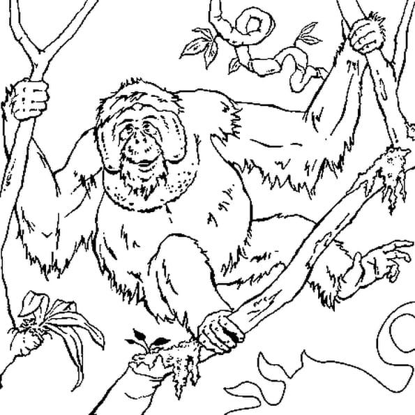 Dessin Orang Outan a colorier