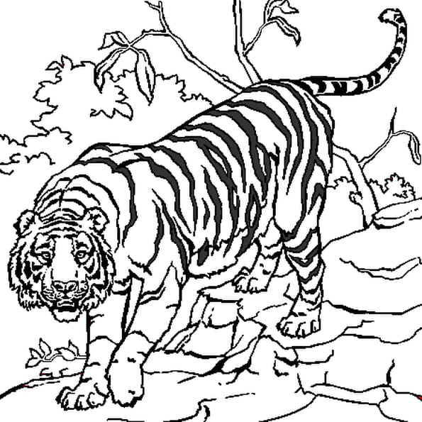 Dessin Tigre a colorier