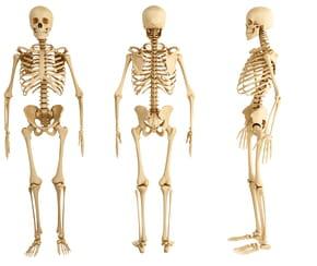 Quels sont les os du corps humain?