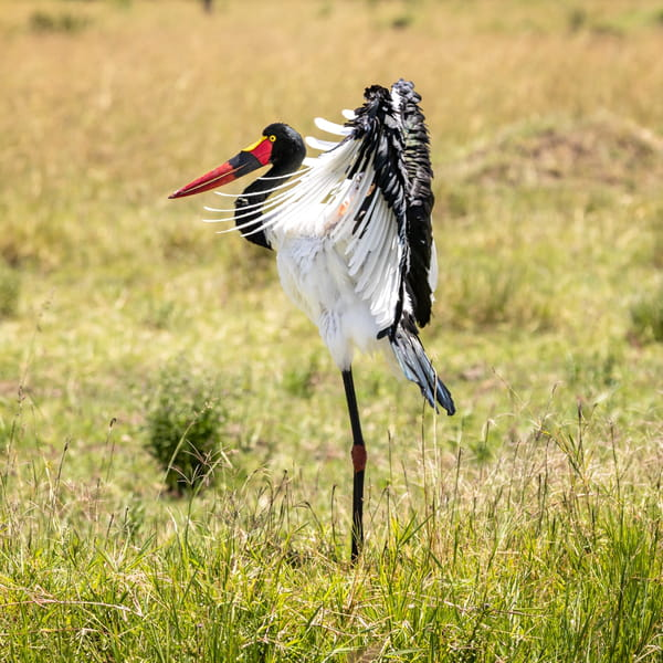 cigogne-oiseaux-savane