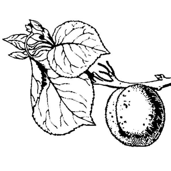 Coloriage Abricot en Ligne Gratuit à imprimer