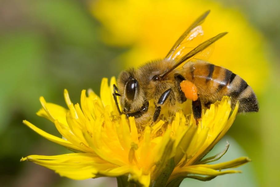 Abeilles: comment font-elles du miel?