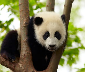 Pandas: où en voir en Europe