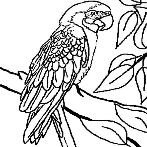 Dessin perroquet a colorier