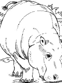 Hippopotame seul