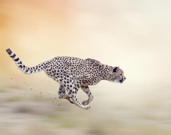 guepard-vitesse