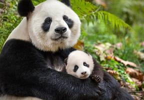 """""""Nés en Chine"""": à vous les pandas du nouveau Disneynature"""