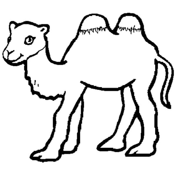 bb chameau