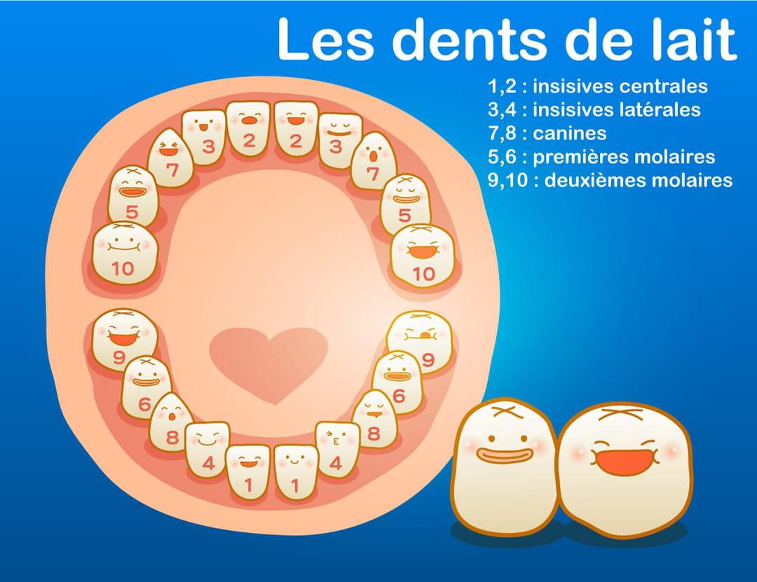 le-nom-des-dents-de-lait