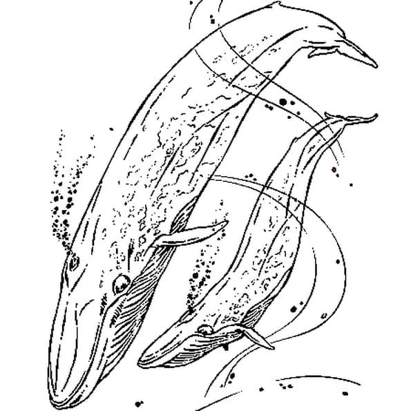 Dessin Baleine Bleue a colorier