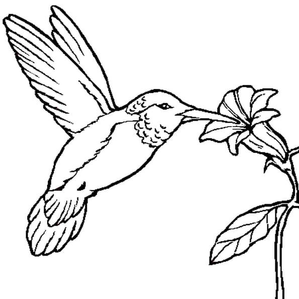 Coloriage Colibri en Ligne Gratuit à imprimer