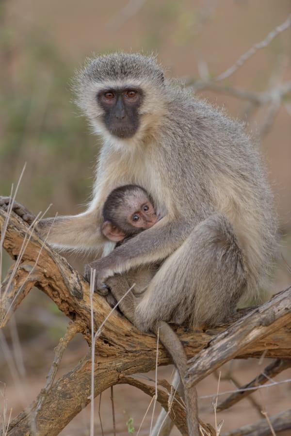 singes-savane