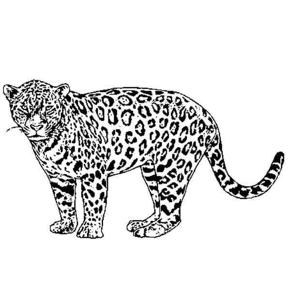 Dessin jaguar a colorier
